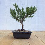 parsoni juniper bonsai