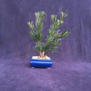 japanese yew bonsai tree