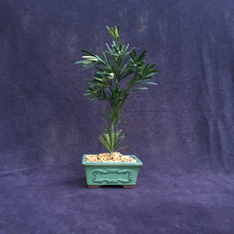 podocarpus japanese yew bonsai