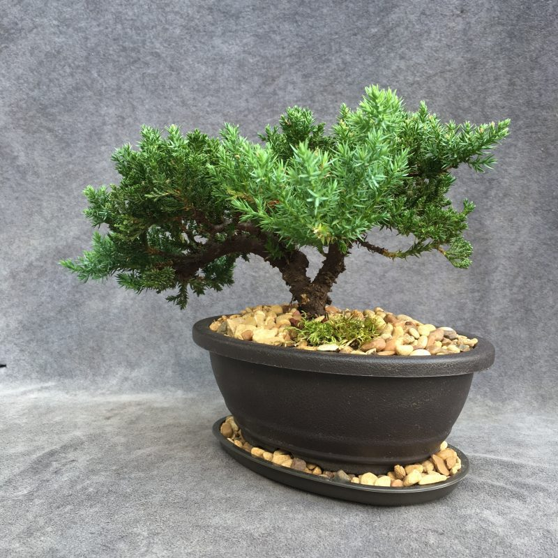 bonsai at East TX #1 Bonsai Source