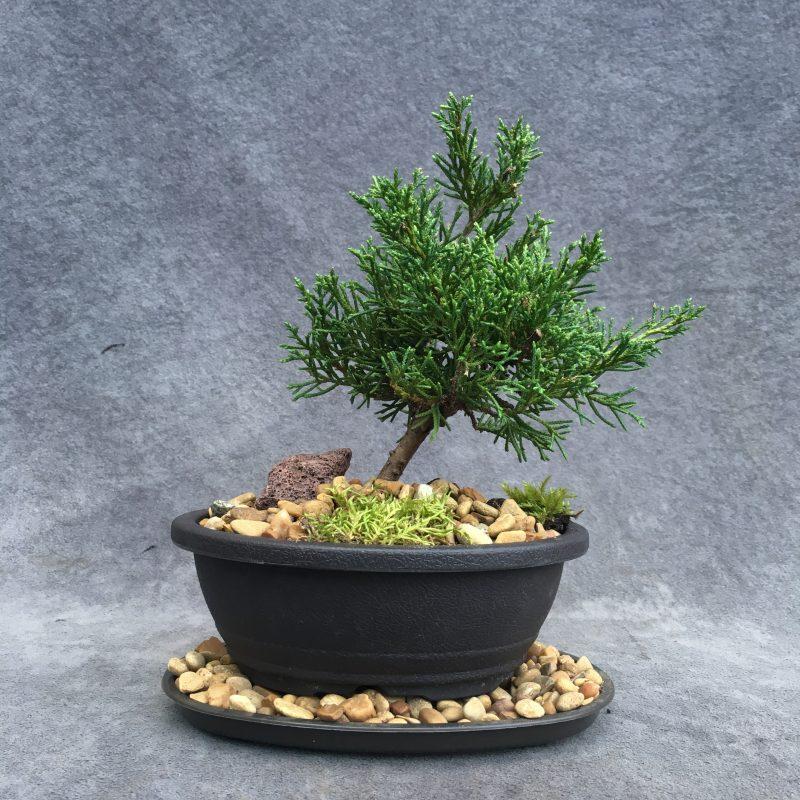 Shimpaku Juniper Bonsai