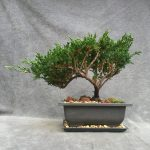 Sargent`s Juniper Bonsai